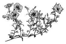 Flowering Branch Of Petunia Violacea Vintage Illustration.