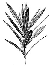 Leading Branchlet Of Nerium Oleander Vintage Illustration.