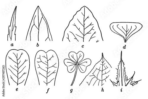 Leaf Tips vintage illustration. Wallpaper Mural