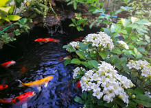 Murraya Paniculata Or Name Orang Jessamine, China Box Tree, Andaman Satinwood, Chinese Box-wood  On Fancy Carp  Fish Pond And Mini Waterfall.