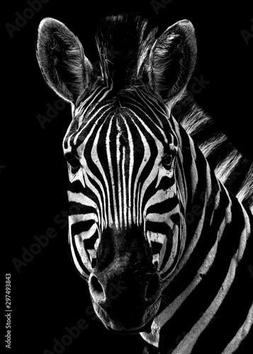 Black and White Zebra Portrait on a black background - 297493843