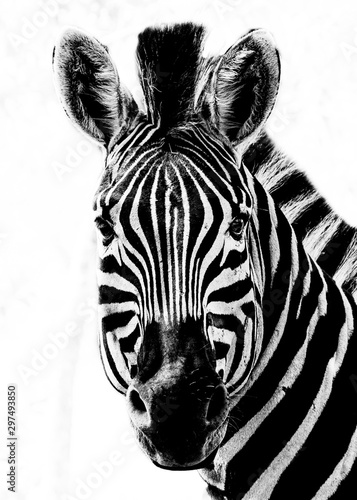 Black and White Zebra Portrait on a white background - 297493850