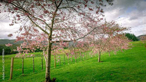 Foto op Plexiglas Groene cherry blossom pink on a field