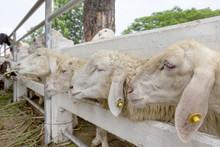 Closeup Sheep In Farm,thailand
