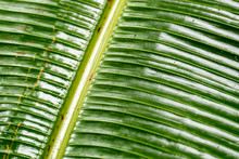Detail Of Palm Leaf In The Jun...