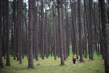 A Woman At Suan Son Bor Kaeo A Pine Forest In Chiang Mai, Thailand