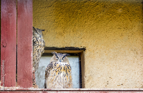 Papiers peints Chouette Two forest owls hide from the light in the attic of a house