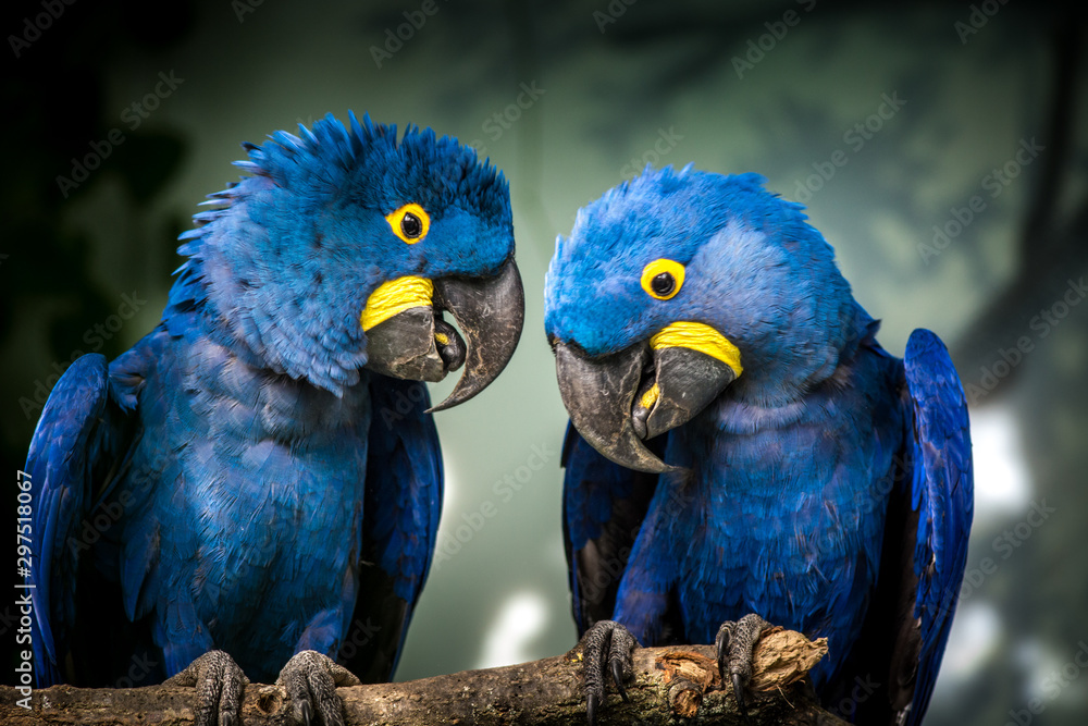 Fototapety, obrazy: blue and yellow macaw