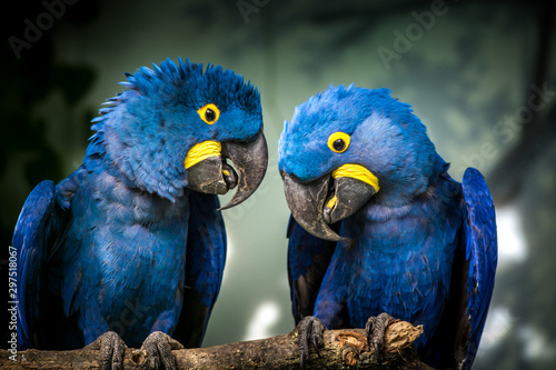 Spoed Fotobehang Vogel blue and yellow macaw