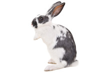 Cute Spotted Rabbit Standing On His Hind Legs Isolated On A White Background