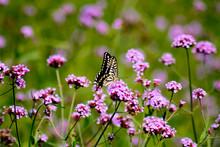 LWTWL0001677 Flowering Verbena...