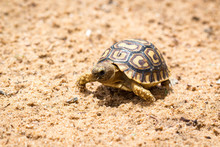Young And Little Tortoise Walk...