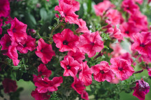 Many Beautiful Pink Petunias Bloom In Spring In The Botanical Garden. Flowers As A Background For Advertising. Summer Bloom.