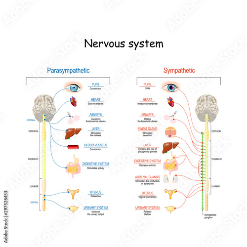 Sympathetic And Parasympathetic Nervous System. Difference. Fototapeta