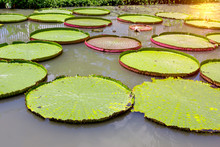 Victoria Waterlily In The Pool,Green Leaves Pattern