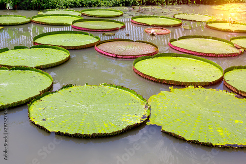Poster de jardin Nénuphars Victoria waterlily in the pool,Green leaves pattern