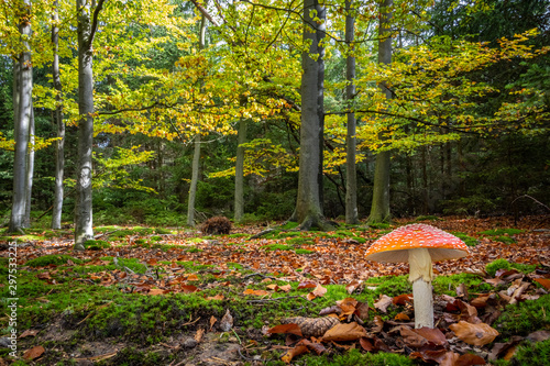 Photo Colorful autumnal beech forest with fly agaric mushroom