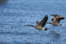 Canadian Geese Fly Over The Sea