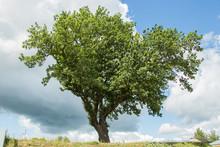 Sprawling Oak Tree On Hilltop ...