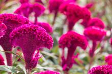 Red Velvet Flower. Red Cockscomb, Celosia Cristata