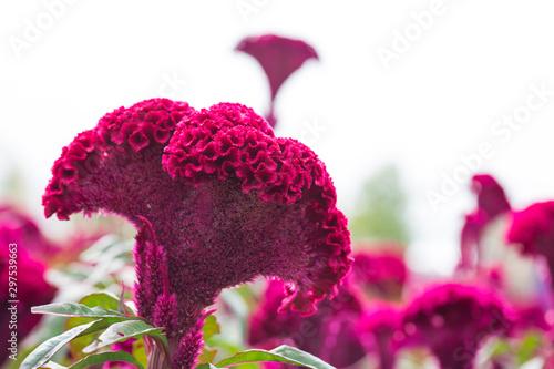 Red velvet flower. red cockscomb, Celosia cristata Fototapet