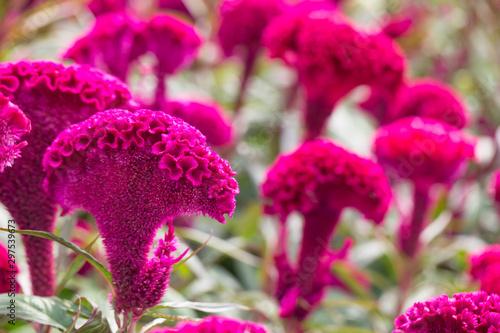 Fotografie, Obraz Red velvet flower. red cockscomb, Celosia cristata