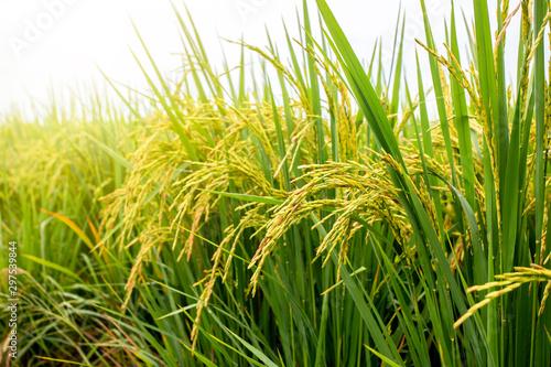 Fototapeta Rice field