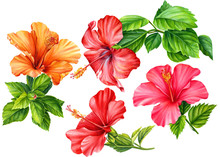 Set Of Hibiscus Flowers Painted In Watercolor, On An Isolated White Background, Botanical Illustration, Tropical Flowers