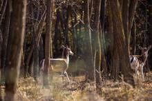 Female Roe Deer Standing In Au...