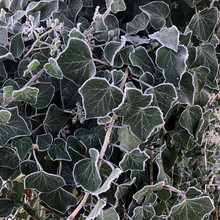 Morning Frost On Ivy Plant
