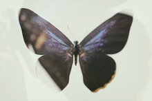 Blurred Abstract Butterfly. Double Exposure. Tropical Insect