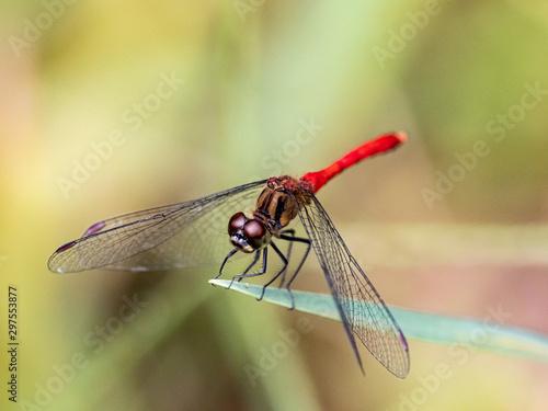 Fotografia, Obraz sympetrum risi yosico meadowhawk darter dragonfly 6