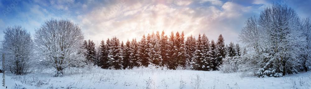 Fototapety, obrazy: Pine trees in winter landscape at sunset