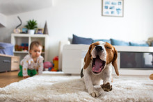 Adorable Beagle Dog On Carpet Yawing. Baby On All Fours In Background.