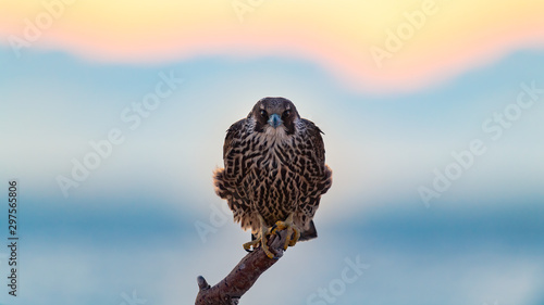 Photo Peregrine Falcon perched on the beach at sunrise.