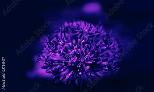 Purple allium blossom Canvas Print