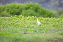 Plumed Egret Ardea Plumilera Cinerea Standing In A Meadow. Looking For Food In Tall Grass. The Cattle Heron Is A Long Legged Predatory Wading Bird Of The Heron Family Ardeidae