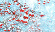 Rowan Tree In Snow. Beautiful ...