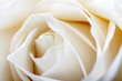 White rose as background