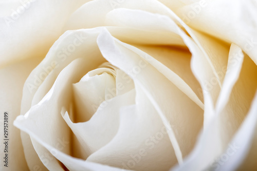 Foto op Canvas Roses White rose as background