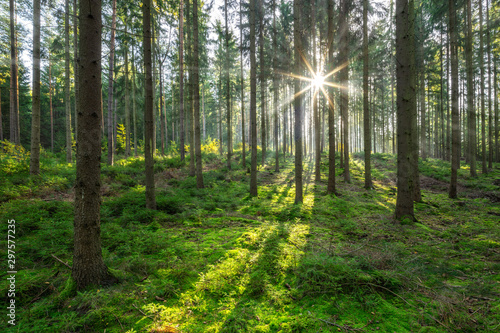 Fototapeta The Sun is shining through Spruce Tree Forest with some Fog obraz na płótnie