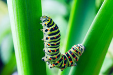 Caterpillar Of The Machaon Crawling On Green Leaves, Close-up