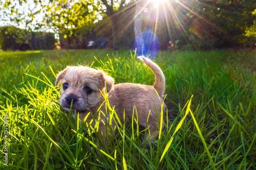 Obraz Brown puppy in enlightened grass - fototapety do salonu