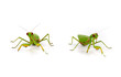 green mantis stands on a white background