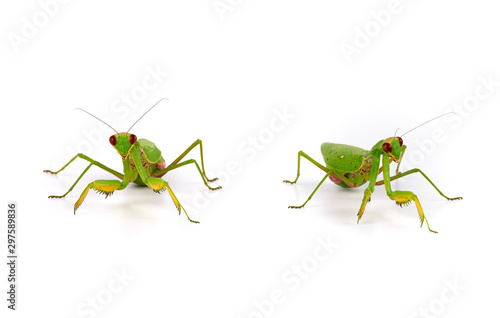 Door stickers Macro photography green mantis stands on a white background