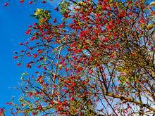 Bright Red Rose Hips On A Bush...
