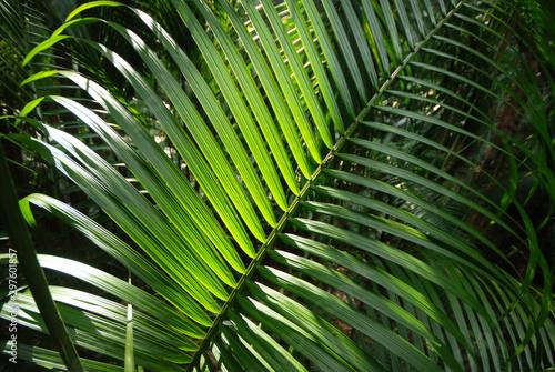 Poster Palm tree testura folha de palmito jussara