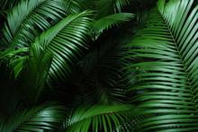 Folhas De Palmito Jussara Brasil