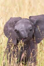 Closeup Of A Happy Elephant Calf