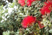 Metrosideros Excelsa Or Pohutukawa Red Flowers